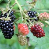 Several berries on a blackberry plant, in varying stages of ripeness