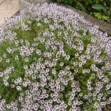 rounded mound-shaped plant with tiny leaves and pinkish blooms