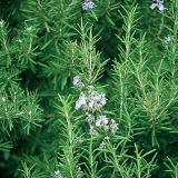 A green woody plant with fragrant, evergreen, needle-like leaves and violet flowers