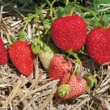 Ripe-red and unripe strawberries on stem