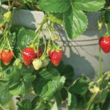 Ripe-red and unripe strawberries hanging from a pot