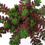 Sedum, rubrotinctum, pork and beans, jelly bean plant