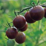 stem with 7 purple-black cherry tomatoes