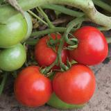 Defiant Tomato - Bred for earliness, disease resistance, and flavor