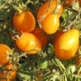 ildi Cherry Tomato - very sweet