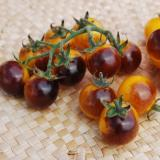 Golden and purple cherry tomatoes