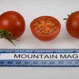 2 full and one half ripe Mountain Magic tomatoes next to a ruler showing size.