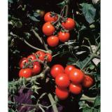 Clusters of red cherry tomatoes