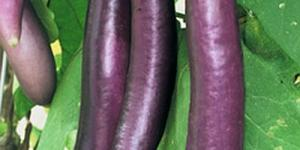 Fengyuan Purple Eggplant - beautiful purple skin