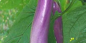 Pingtung Long Eggplant - slender violet-purple eggplant becomes at least 12 inches long and has an excellent mild flavor and tender white flesh