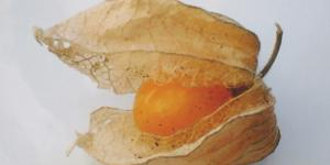 Papery calyx opening to reveal a ripe orange gooseberry