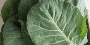 Large, round, thick green vegetable leaves