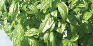 A group of lush basil plants with shiny smooth leaves