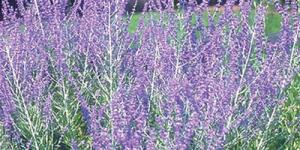 lavender-blue tubular flowers spike up in fern shapes from the aromatic gray-green foliage.