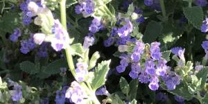 small oval, opposite, intricately veined, gray—green leaves, on square stems with periwinkle colored flowers