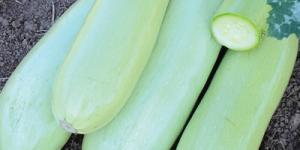 Photo of 4 full thick zucchini, very light green in color, and one cut zucchini showing white flesh inside.
